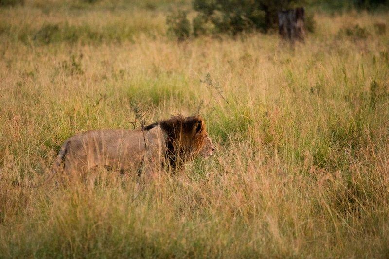 large_Lions_905.jpg