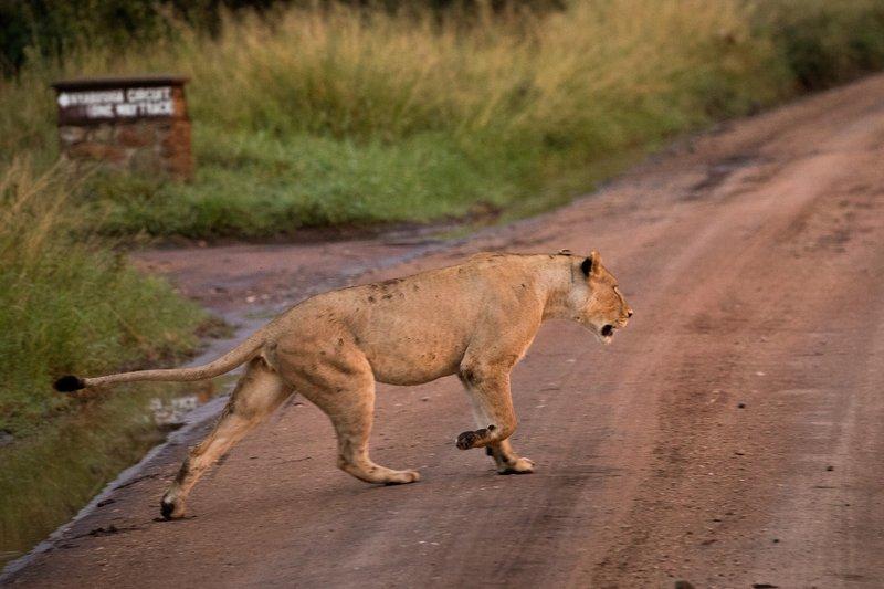 large_Lions_908.jpg
