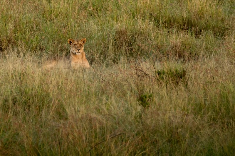 large_Lions_921.jpg