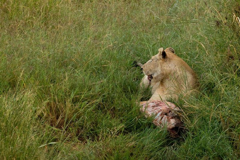 large_Lions_922.jpg