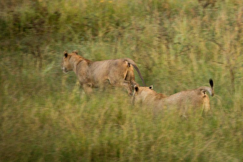 large_Lions_923.jpg