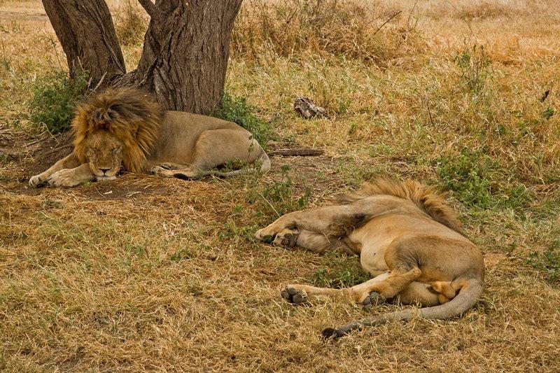 large_Lions_Z_2.jpg