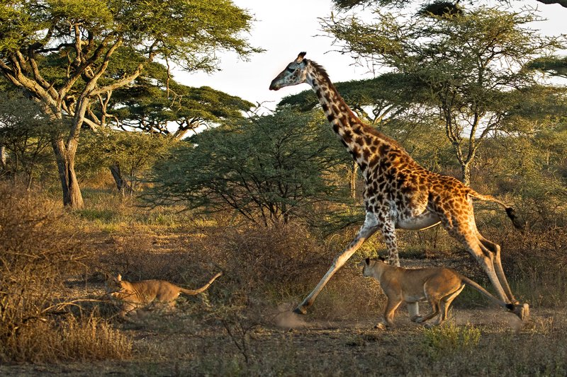 large_Lions_and_Giraffe_11.jpg