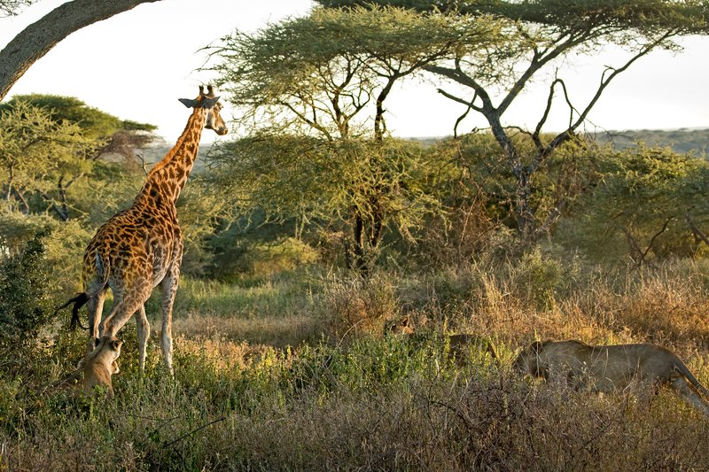large_Lions_and_Giraffe_16.jpg