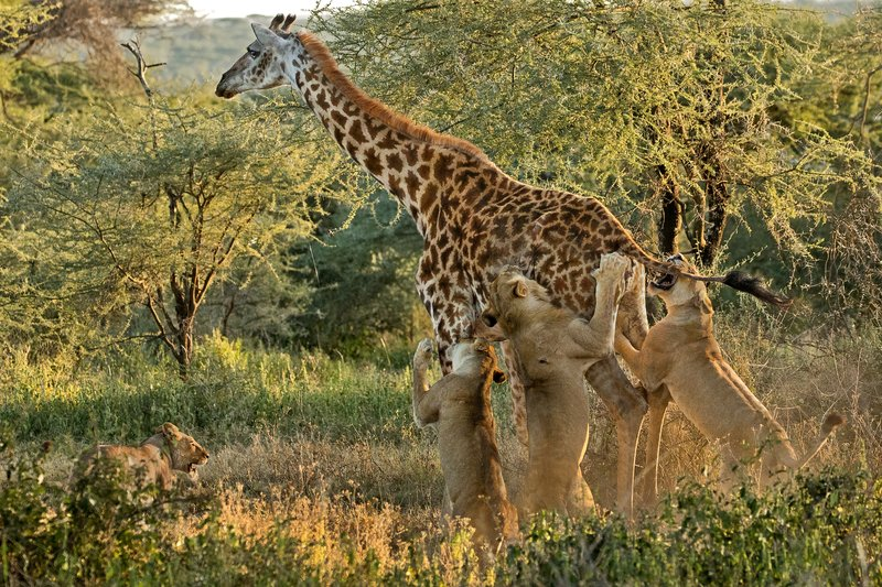 large_Lions_and_Giraffe_22.jpg