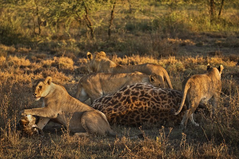 large_Lions_and_Giraffe_29.jpg