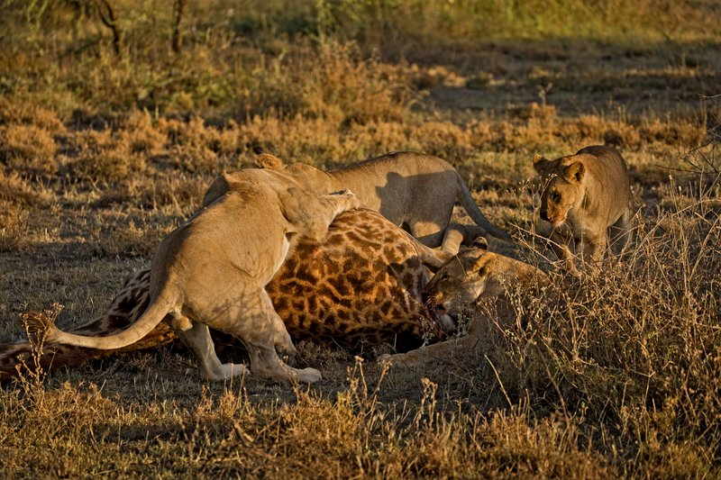 large_Lions_and_Giraffe_40.jpg