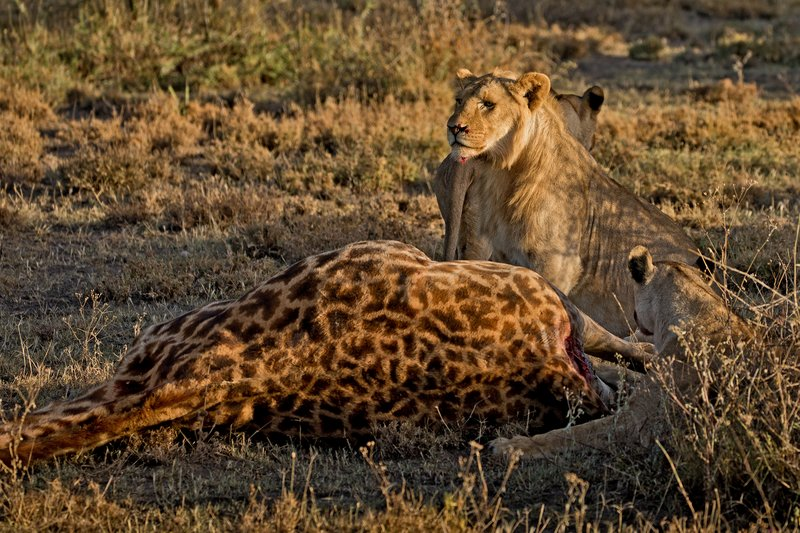 large_Lions_and_Giraffe_45.jpg