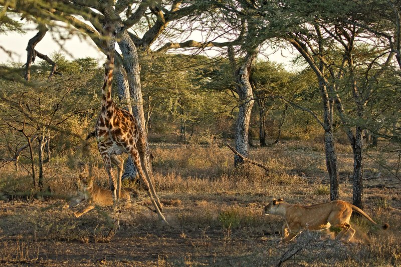 large_Lions_and_Giraffe_6.jpg