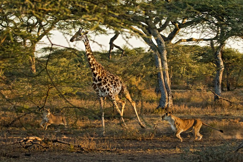 large_Lions_and_Giraffe_9.jpg