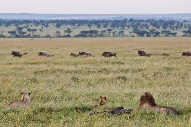 large_Lions_and_Wildebeest_10-2.jpg