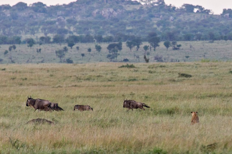 large_Lions_and_Wildebeest_10-6.jpg