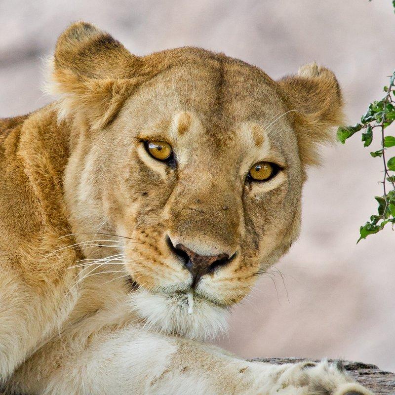 large_Lions_at_Gol_Kopjes_9-14.jpg