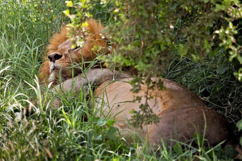 large_Lions_at_Gol_Kopjes_9-16.jpg