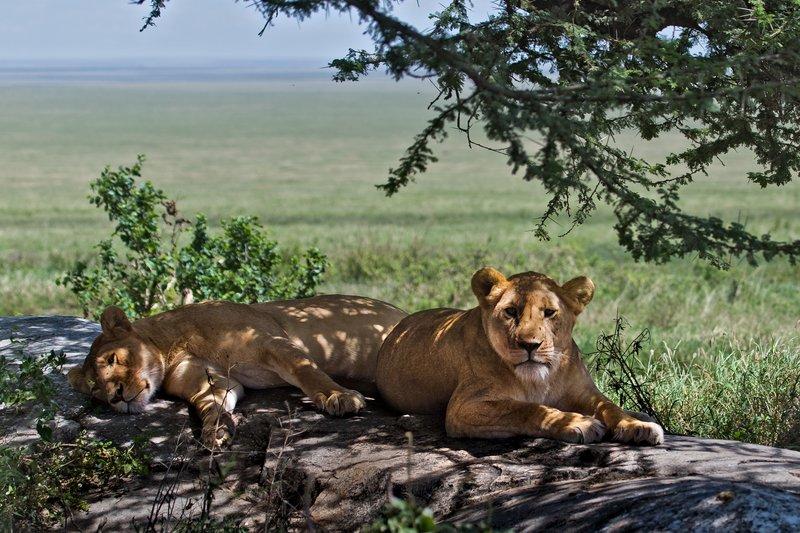 large_Lions_at_Gol_Kopjes_9-18.jpg