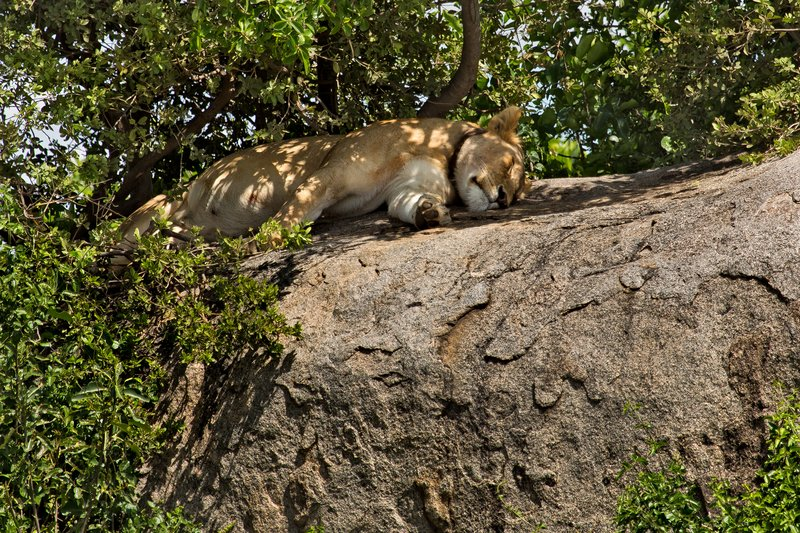 large_Lions_at_Gol_Kopjes_9-2.jpg