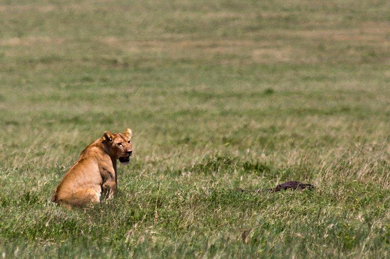 large_Lions_at_Gol_Kopjes_9-27.jpg