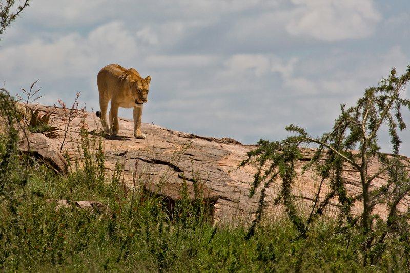 large_Lions_at_Gol_Kopjes_9-3.jpg