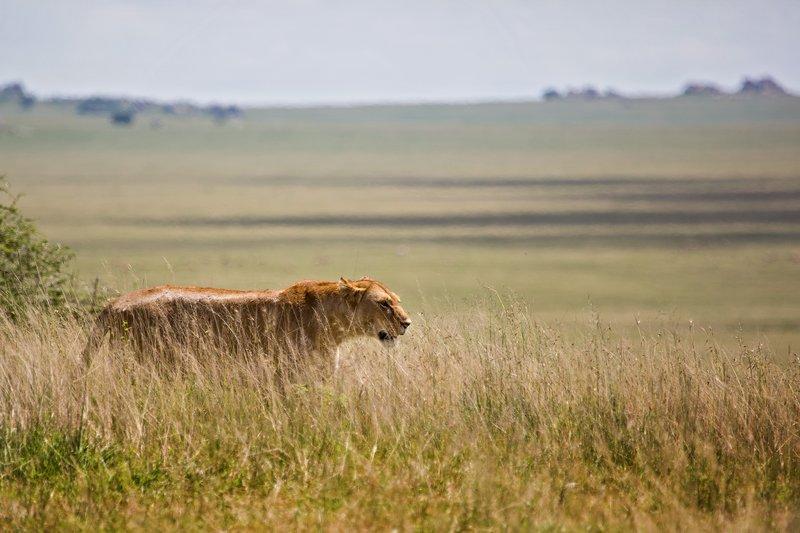 large_Lions_at_Gol_Kopjes_9-4.jpg