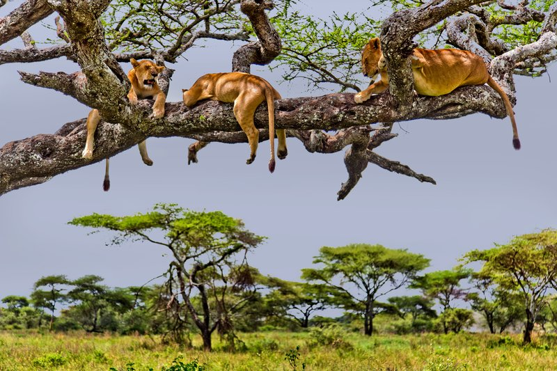 large_Lions_in_a_Tree_11-106.jpg