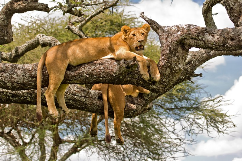 large_Lions_in_a_Tree_11-11.jpg