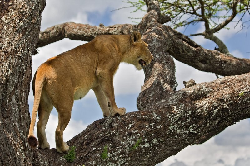 large_Lions_in_a_Tree_11-19.jpg