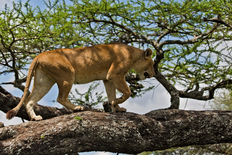 large_Lions_in_a_Tree_11-21.jpg