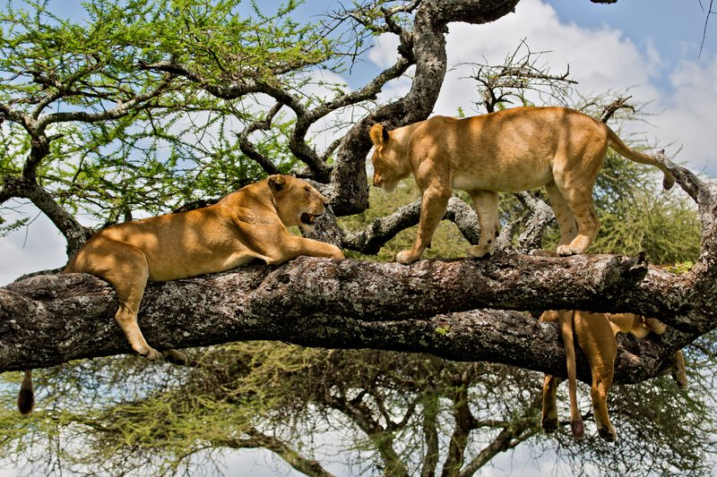 large_Lions_in_a_Tree_11-29.jpg