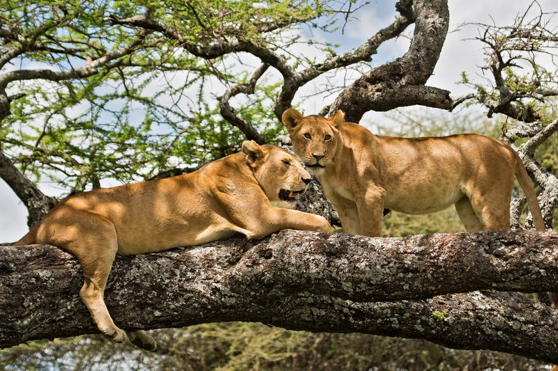 large_Lions_in_a_Tree_11-32.jpg