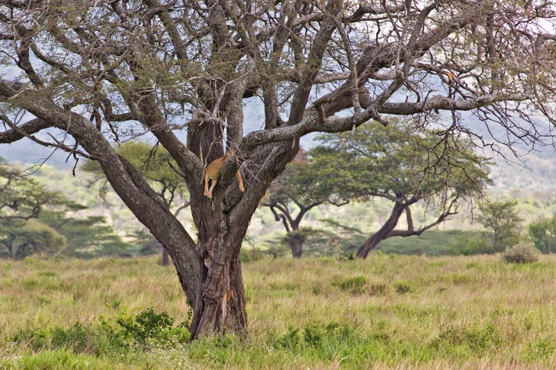 large_Lions_in_a_Tree_11-4.jpg