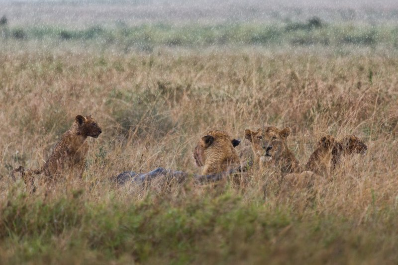 large_Lions_in_the_Rain_11-5.jpg