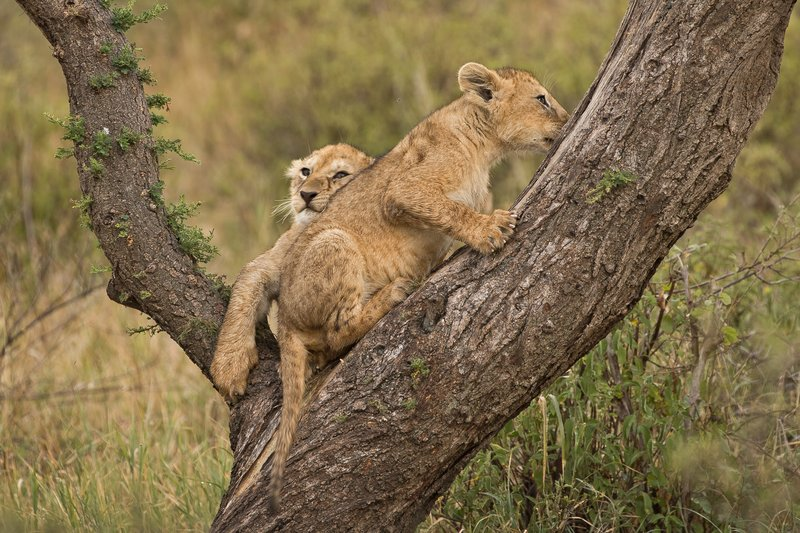 large_Lions_of_M.._Kopjes_330.jpg