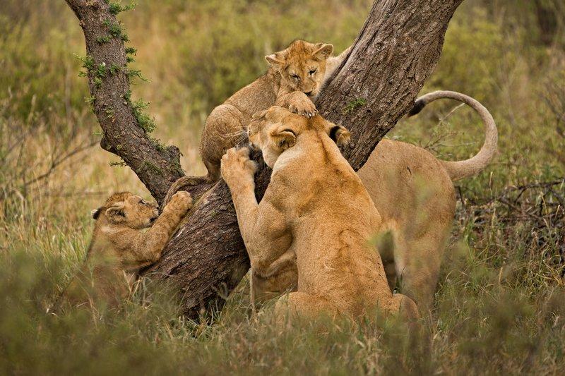large_Lions_of_M.._Kopjes_335.jpg