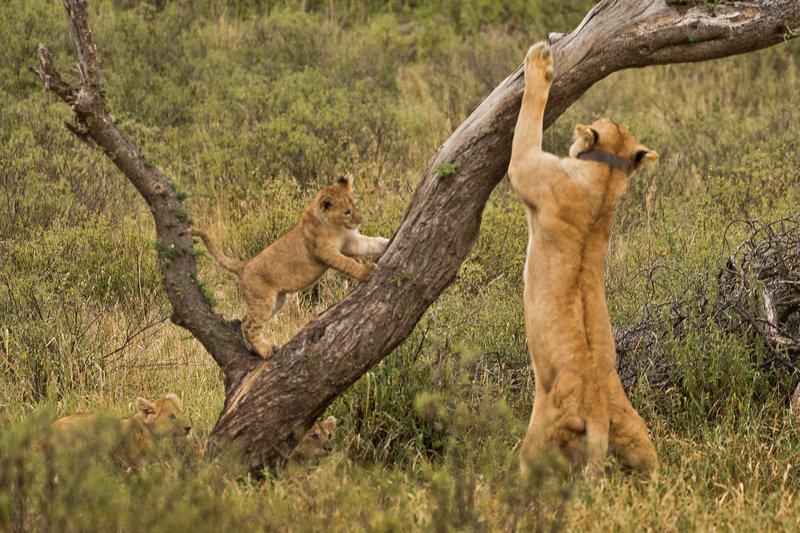 large_Lions_of_M.._Kopjes_350.jpg