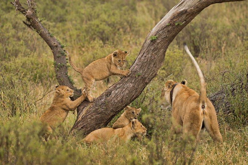 large_Lions_of_M.._Kopjes_351.jpg