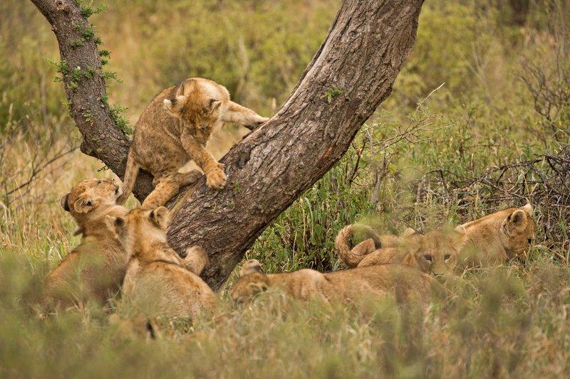 large_Lions_of_M.._Kopjes_363.jpg
