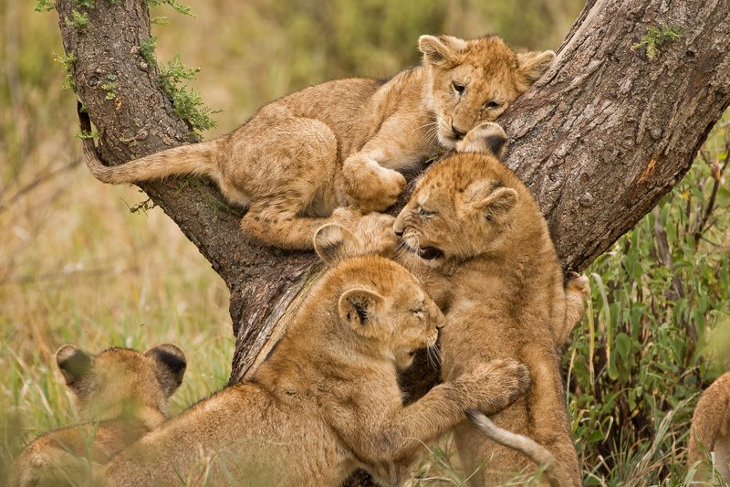 large_Lions_of_M.._Kopjes_364.jpg