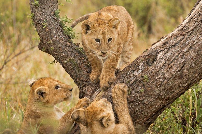 large_Lions_of_M.._Kopjes_371.jpg