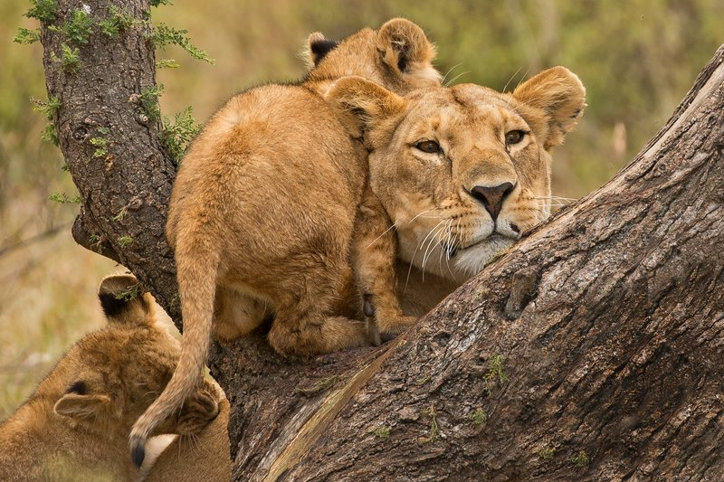 large_Lions_of_M.._Kopjes_391.jpg