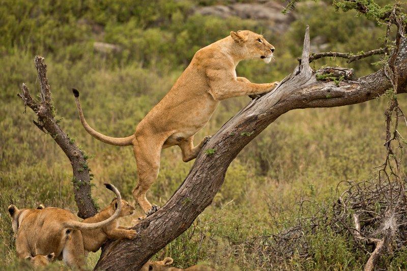 large_Lions_of_M.._Kopjes_392.jpg