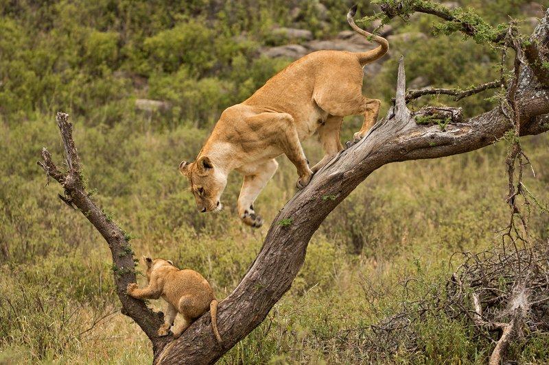 large_Lions_of_M.._Kopjes_404.jpg