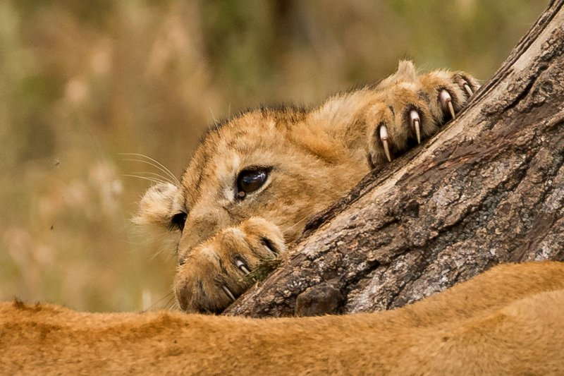 large_Lions_of_M.._Kopjes_407.jpg