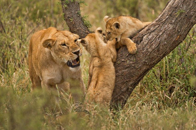 large_Lions_of_M.._Kopjes_421.jpg