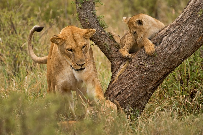 large_Lions_of_M.._Kopjes_422.jpg