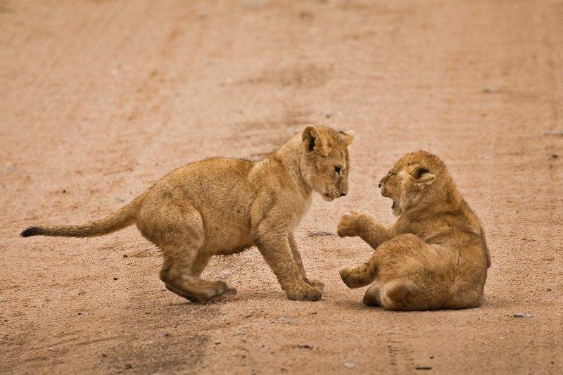 large_Lions_of_M.._Kopjes_445.jpg
