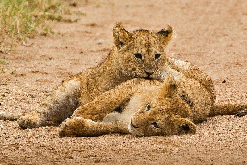 large_Lions_of_M.._Kopjes_455.jpg