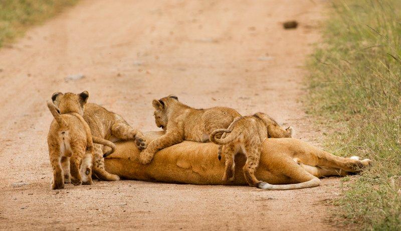 large_Lions_of_M.._Kopjes_482.jpg