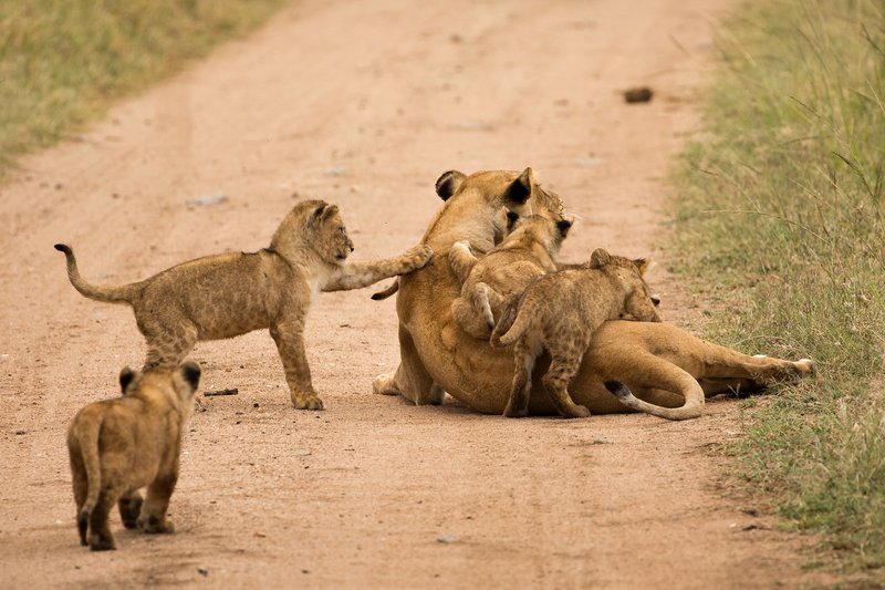 large_Lions_of_M.._Kopjes_484.jpg