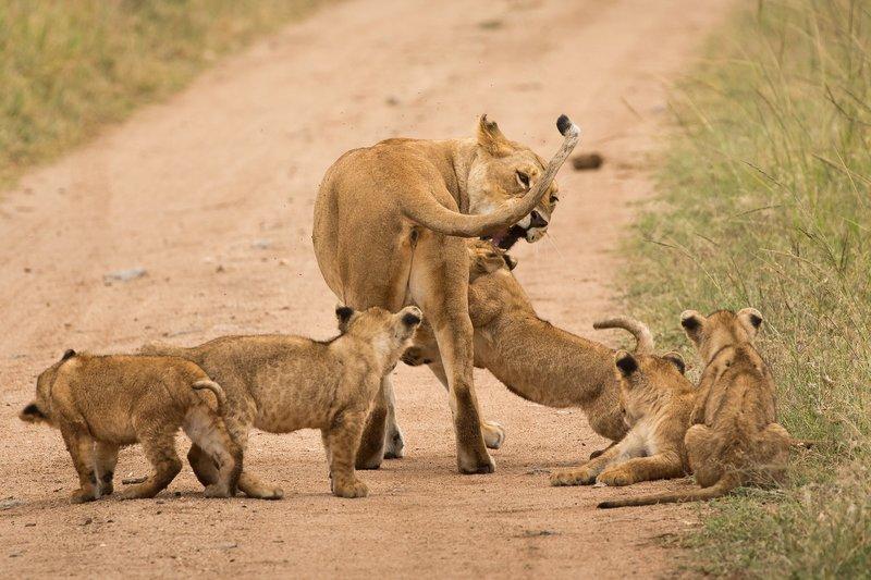 large_Lions_of_M.._Kopjes_488.jpg
