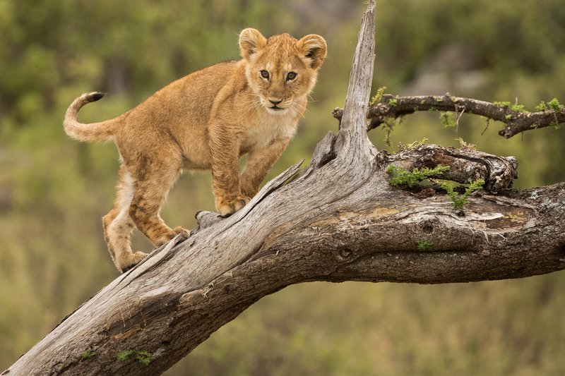 large_Lions_of_M.._Kopjes_522.jpg